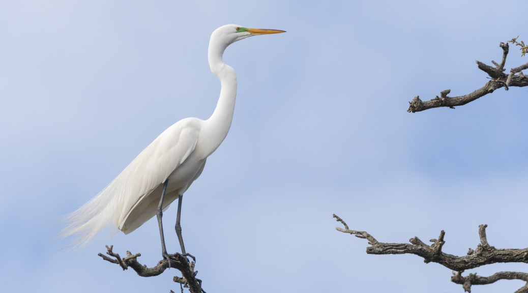 Portrait Of An Egret - click to enlarge