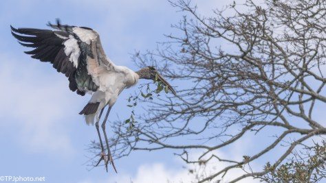 The Big Guy Gathering Sticks, Wood Stork - click to enlarge