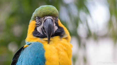 Blue And Yellow Macaw - click to enlarge