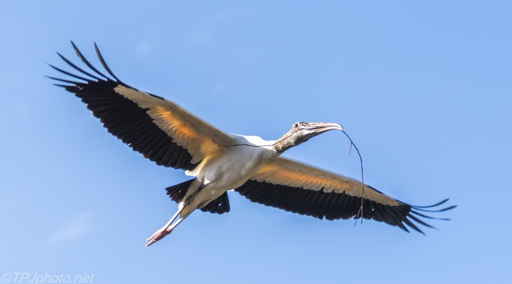 Busy Wood Stork - click to enlarge