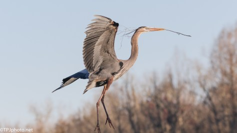 Great Blues, Elegant In Flight - click to enlarge