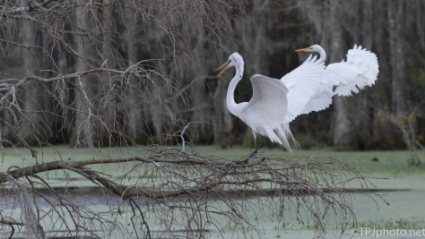 Great Egrets, Angry As Usual - click to enlarge