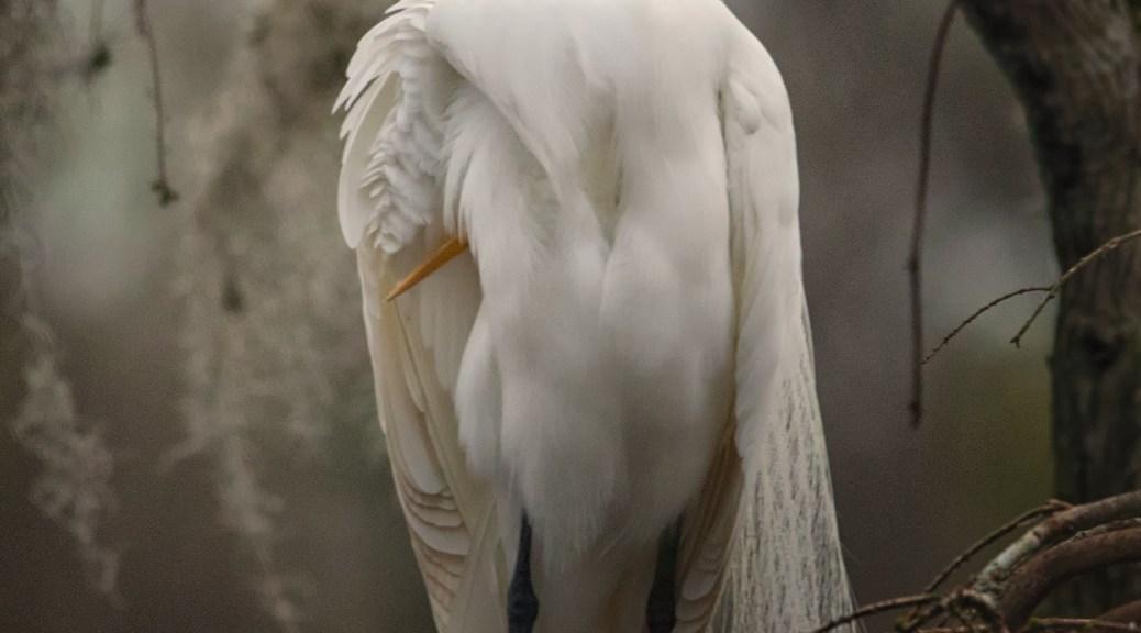 Headless Egret...Sleeping - click to enlarge