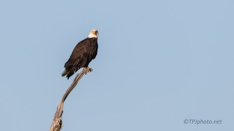 Duck Watching, Bald Eagle - click to enlarge