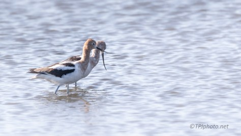 Out For A Stroll, Avocets - click to enlarge