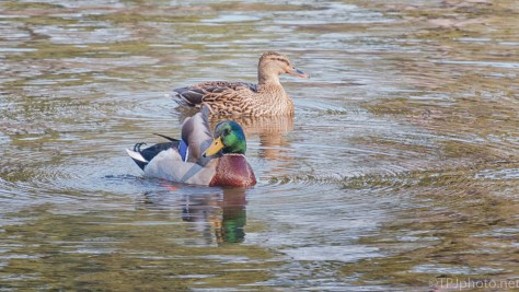 Mallard Pair - click to enlarge