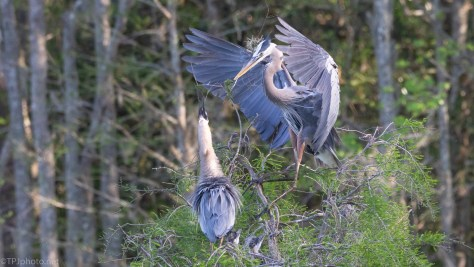 Great Blue Herons Nesting - click to enlarge