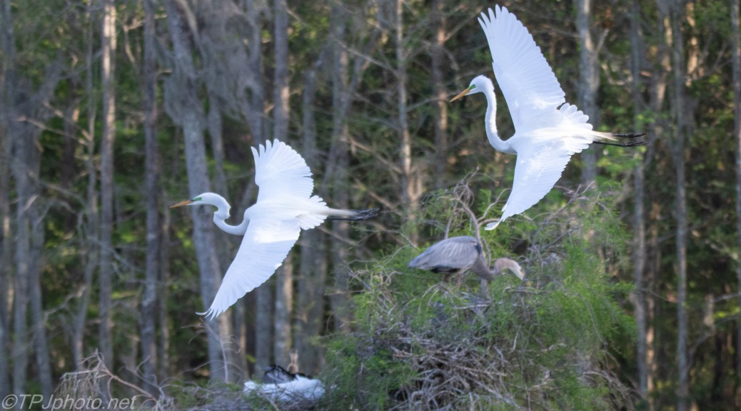 Egrets Are Always In A Squabble - click to enlarge