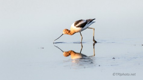 Hunting, American Avocet - click to enlarge