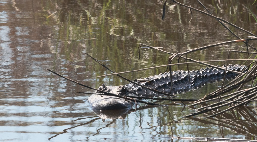 Alligators From A Walk In The Marsh - click to enlarge