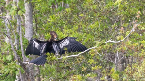 Anhinga, Drying Her Wings - click to enlarge