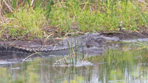 Relaxing, Alligator - click to enlarge