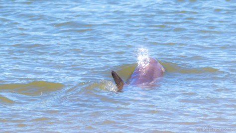 Dolphin Strand Feeding, Worst Kept Secret - click to enlarge