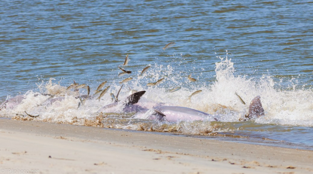 The Water Erupts, Dolphins - click to enlarge