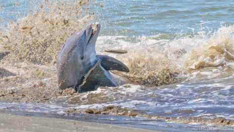 Dolphin Pushing On Shore - click to enlarge