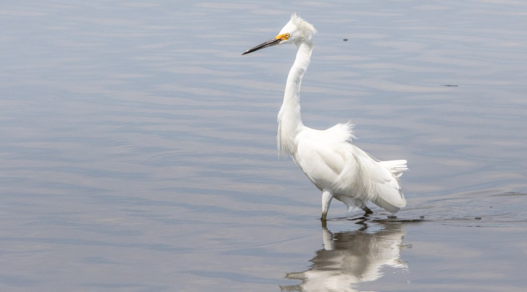 Gettin All Rowdy And Stuff, Snowy Egret - click to enlarge