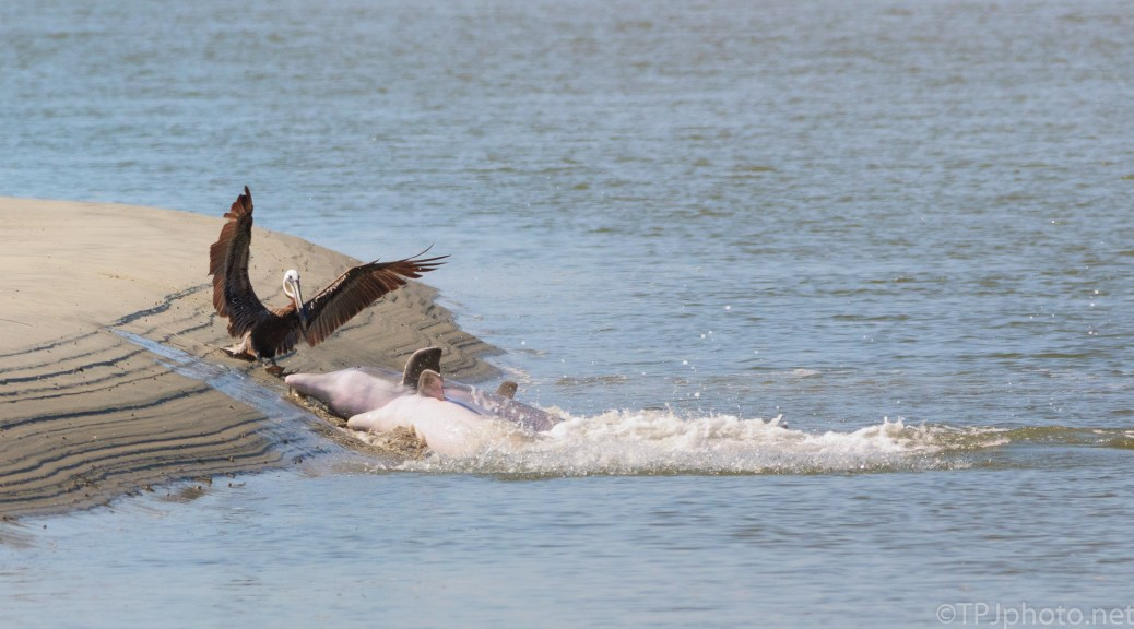 Stealing Fish, Pelican And Dolphin - click to enlarge