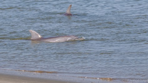 First A Look, Then Charge, Dolphin - click to enlarge