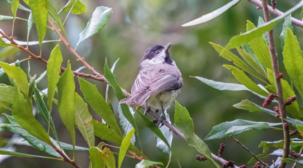 Little Chickadee - click to enlarge