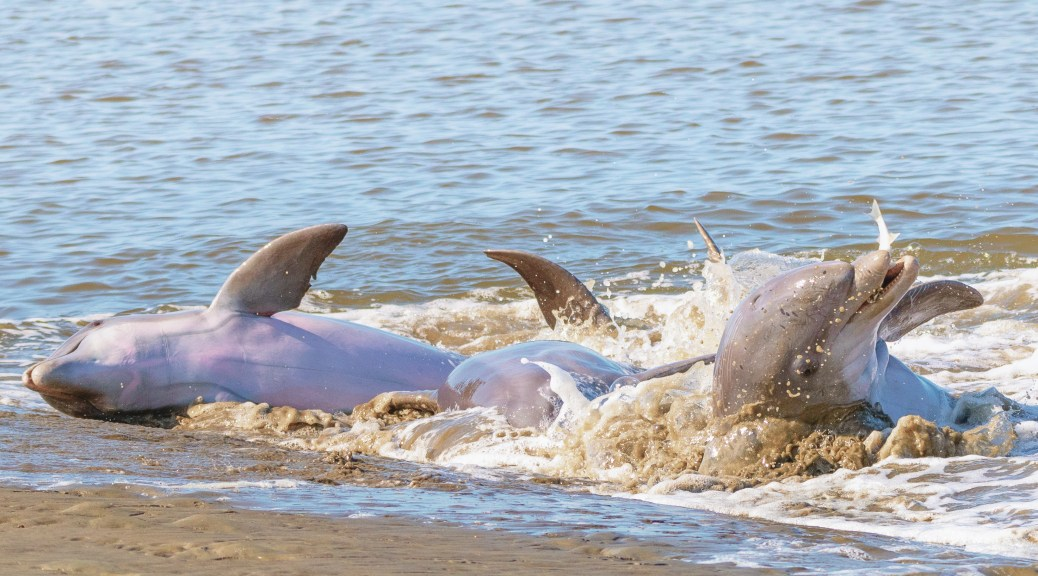 A Dolphin Rolling Back With His Catch - click to enlarge
