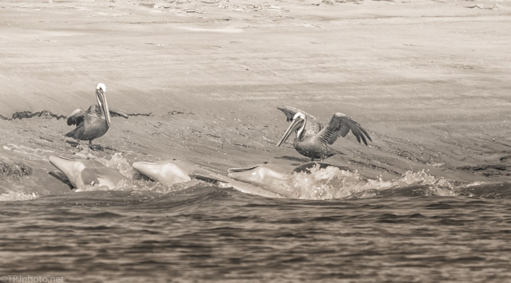 Dolphins vs Pelicans - click to enlarge