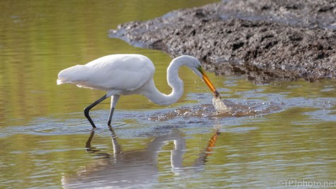 Turn, Focus, Shoot, Great Egret - click to enlarge