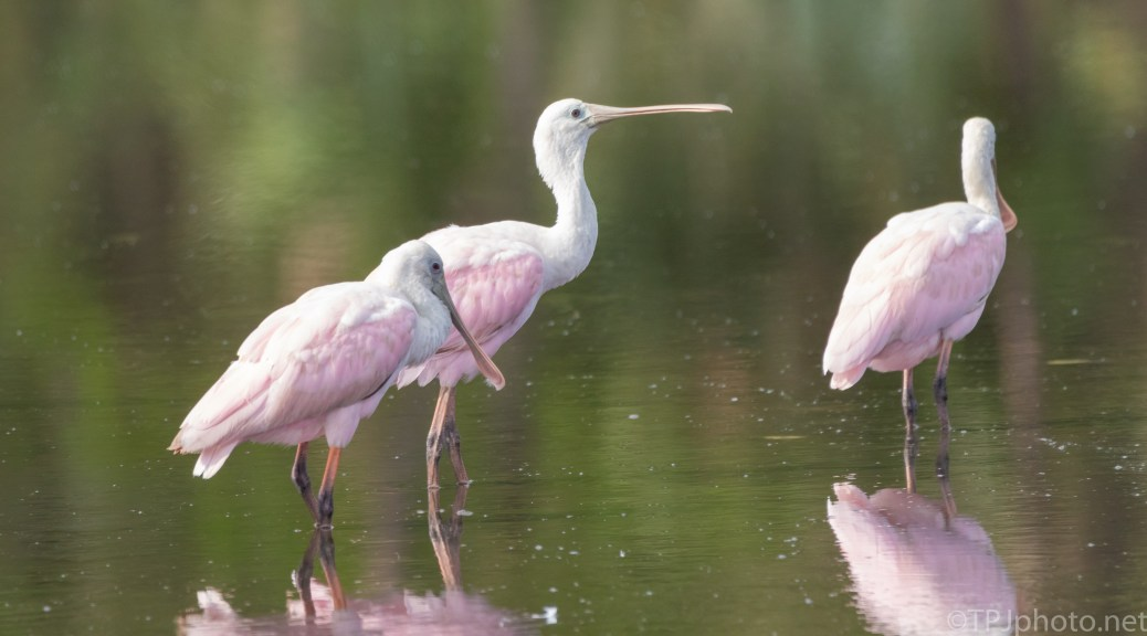 Spoonbills Gathering - click to enlarge