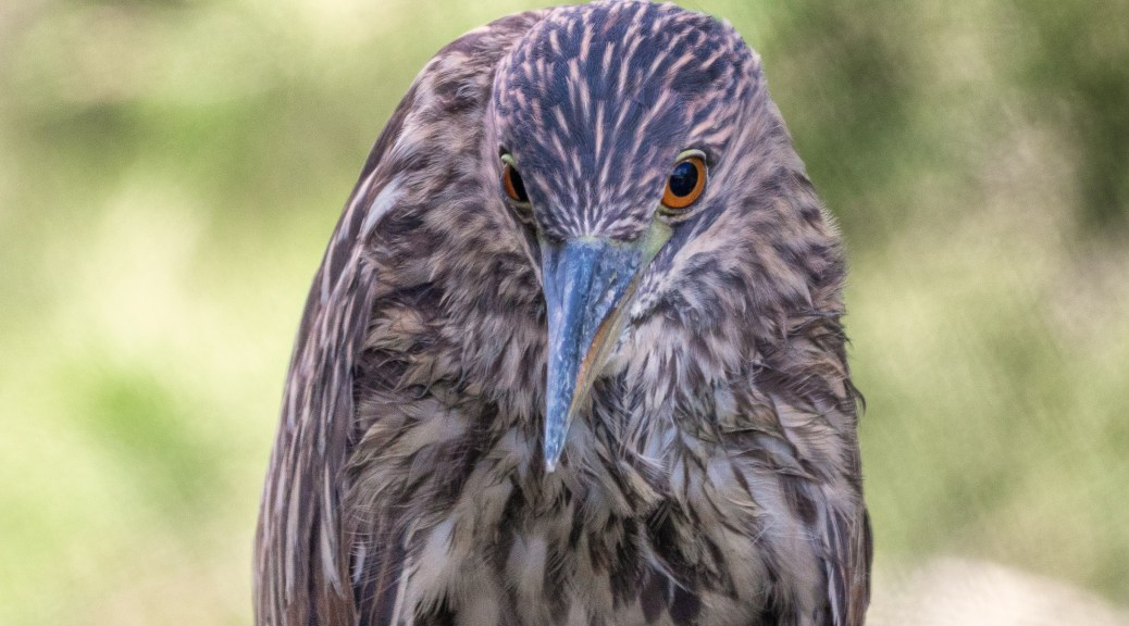 Stare Down, Night Heron - click to enlarge