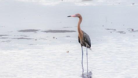 Reddish Egret - click to enlarge