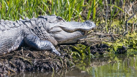 Sun Bathing, Alligator - click to enlarge