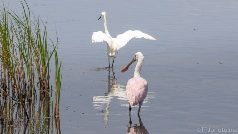 Another Odd Couple, Egret And Spoonbill - click to enlarge