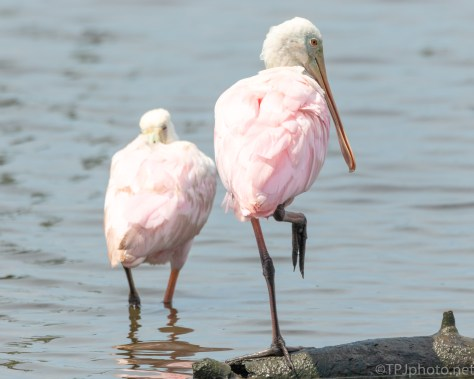 Spoonbill Knows I'm Watching - click to enlarge