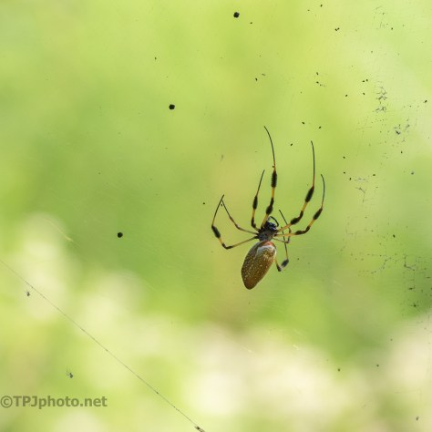 Orb Weaver - click to enlarge
