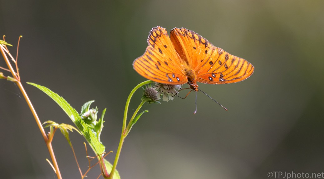 Gulf Fritillary, Passion Butterfly - click to enlarge