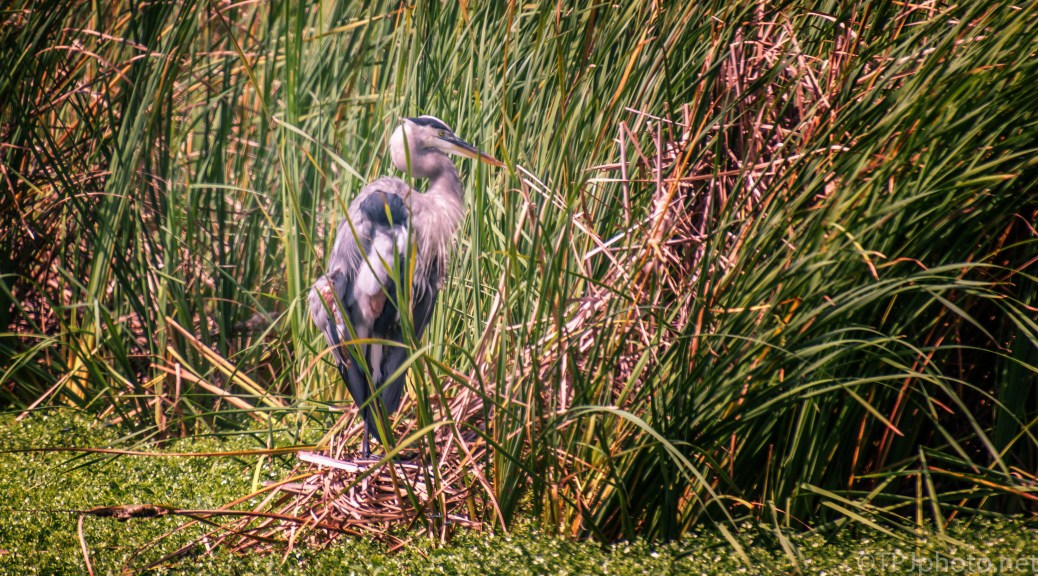 Great Blue In The Cane - click to enlarge