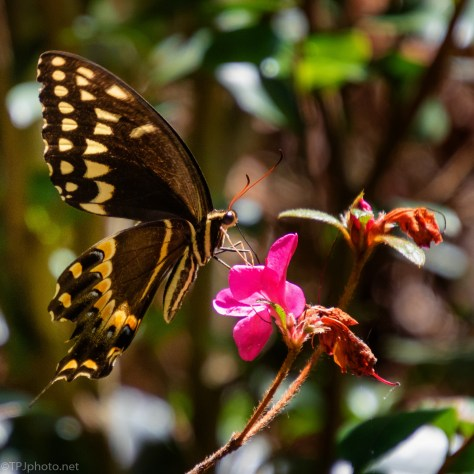 Swallowtail -click to enlarge