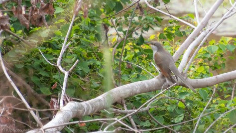 Yellow-billed Cuckoo - click to enlarge..