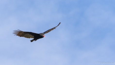 Turkey Vulture, Click to enlarge