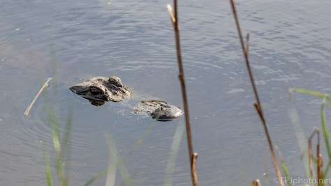 Canal Waters Between Us, Alligator - click to enlarge