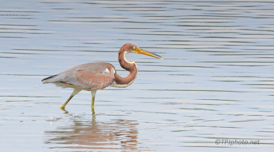 Struttin With Attitude, Tricolored Heron - click to enlarge