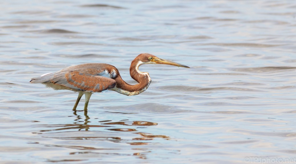 Full Stealth Mode, Tricolored Heron - click to enlarge