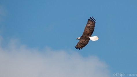 Blue Sky, Clouds, and A Bald Eagle - click to enlarge