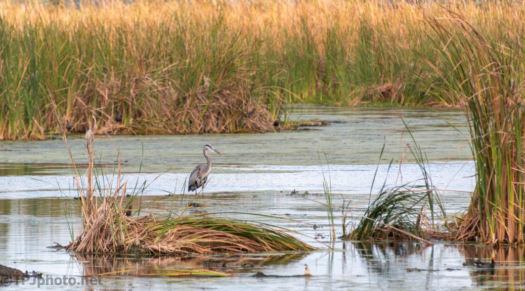 Great Blue Heron Fishing A Marsh - click to enlarge