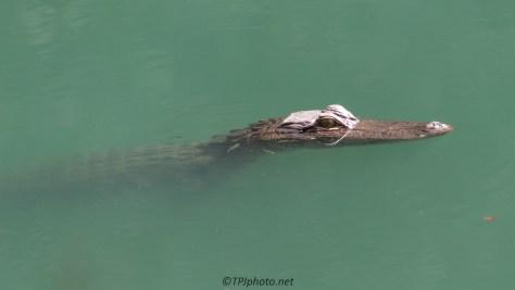 Alligator, Little Fish, Strange Water - click to enlarge