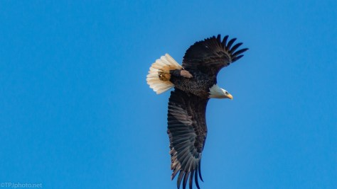 Catching The Lift, Bald Eagle - click to enlarge