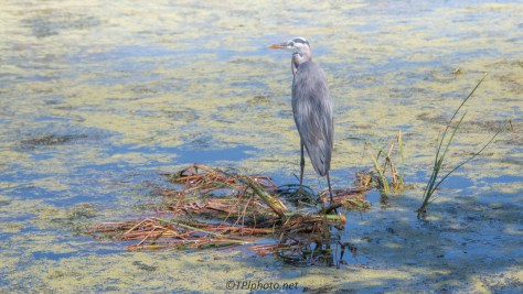 Great Blue Heron, Edge Of A Marsh - click to enlarge