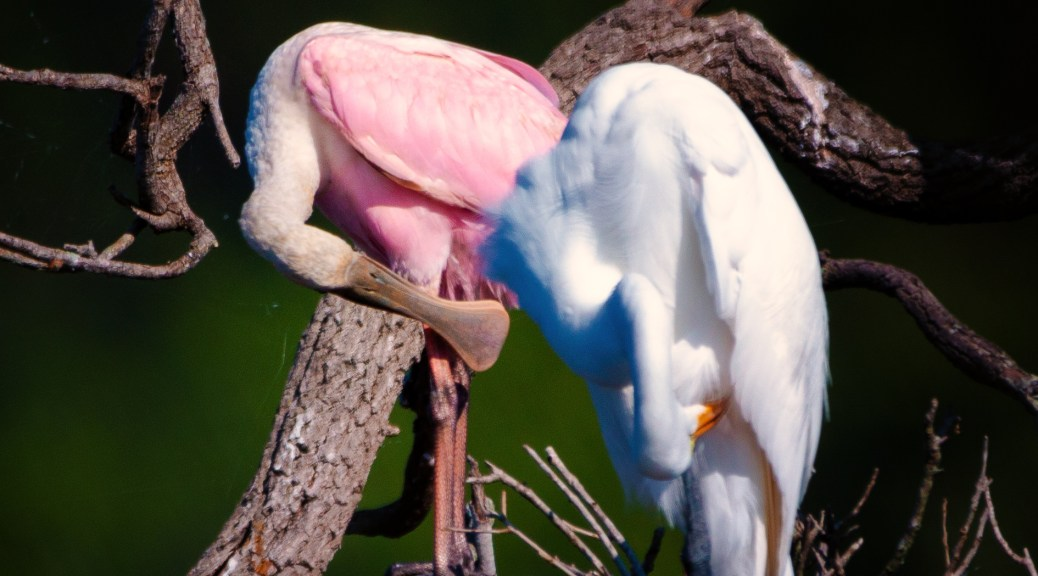 Roseate Spoonbill Sharing A Branch With A Great Egret - click to enlarge