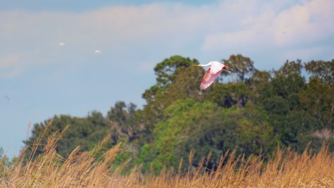 Spoonbill Coming Into A Marsh - click to enlarge