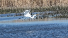 Coming To The Marsh, Great Egret