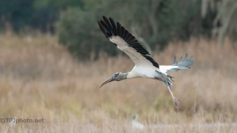 Sudden Flight, 20 Images, A Single Good One, Wood Stork - click to enlarge